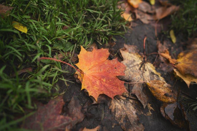 Natte gevallen de herfstbladeren op grond in lage de hoekfoto van de midden oktoberclose-up royalty-vrije stock afbeelding