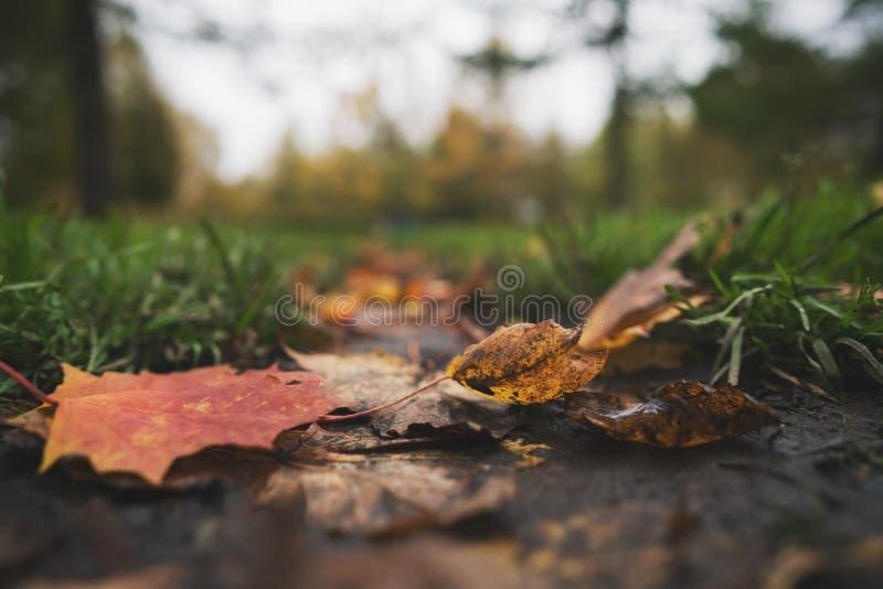 Natte gevallen de herfstbladeren op grond in lage de hoekfoto van de midden oktoberclose-up stock foto