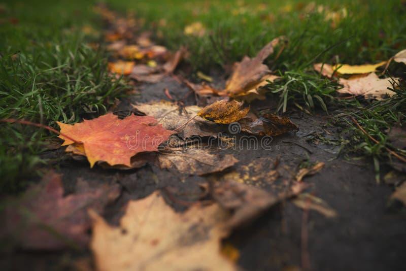 Natte gevallen de herfstbladeren op grond in lage de hoekfoto van de midden oktoberclose-up stock afbeelding