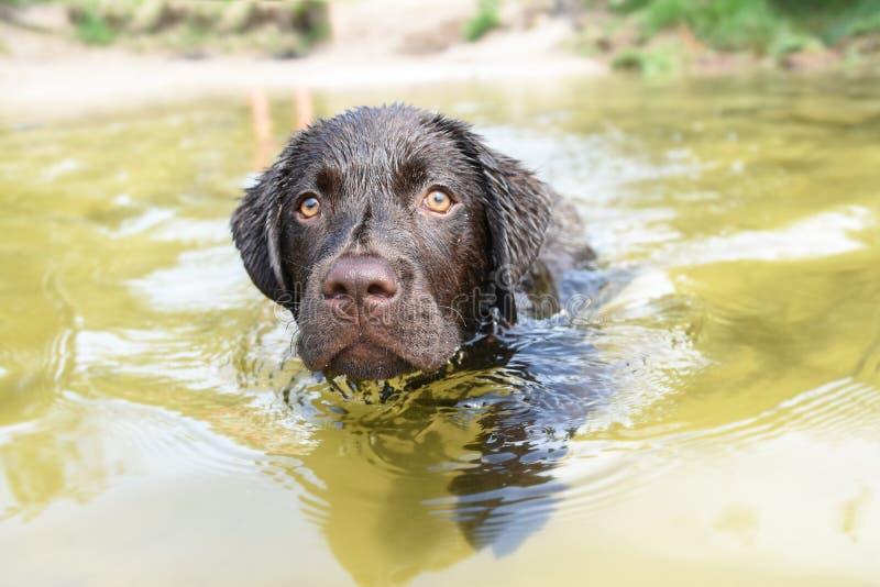 Natte het puppyhond van Labrador in het water die vooruit zwemmen royalty-vrije stock afbeelding