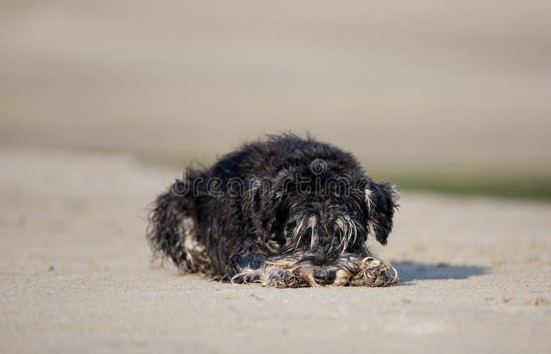 Natte hond die op strand rusten stock foto