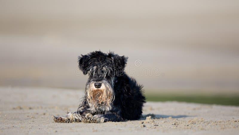 Natte hond die op strand rusten royalty-vrije stock afbeeldingen