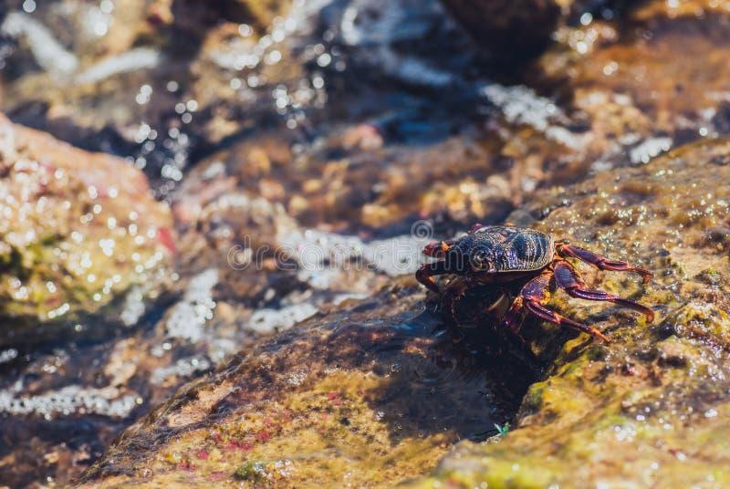 Natte overzeese krab op de steen Zonnige de zomerdag royalty-vrije illustratie