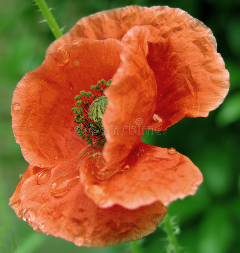 Natte papaver royalty-vrije stock afbeelding