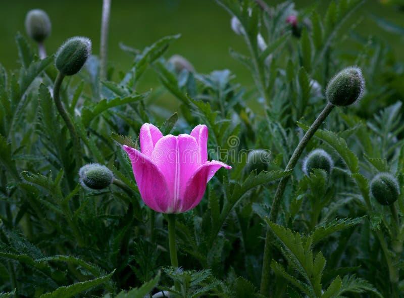 Natte roze purpere tulp royalty-vrije stock foto's