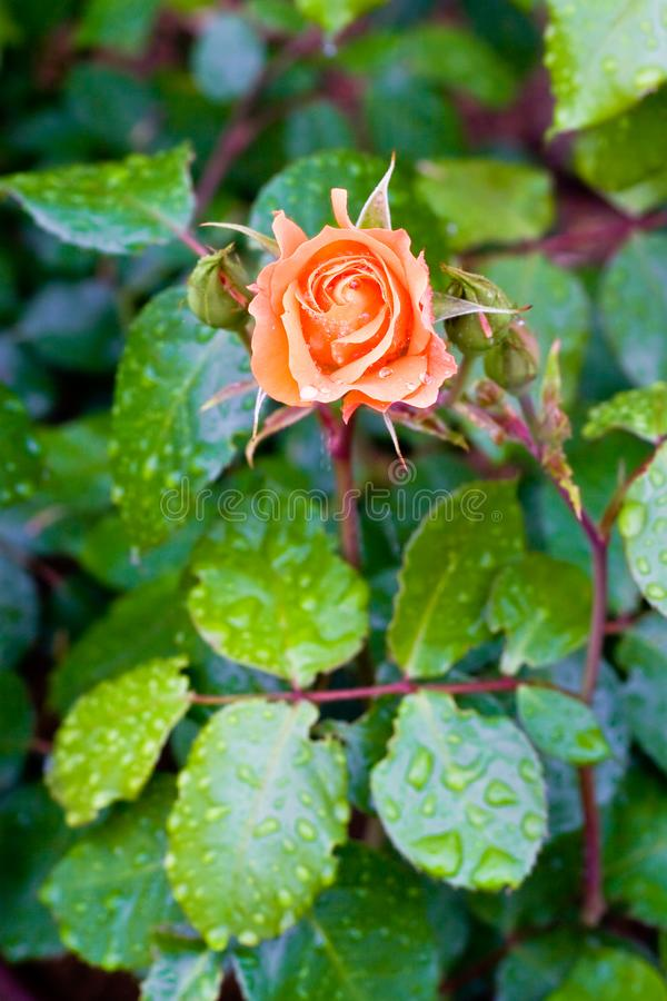 Natte rozen royalty-vrije stock afbeelding