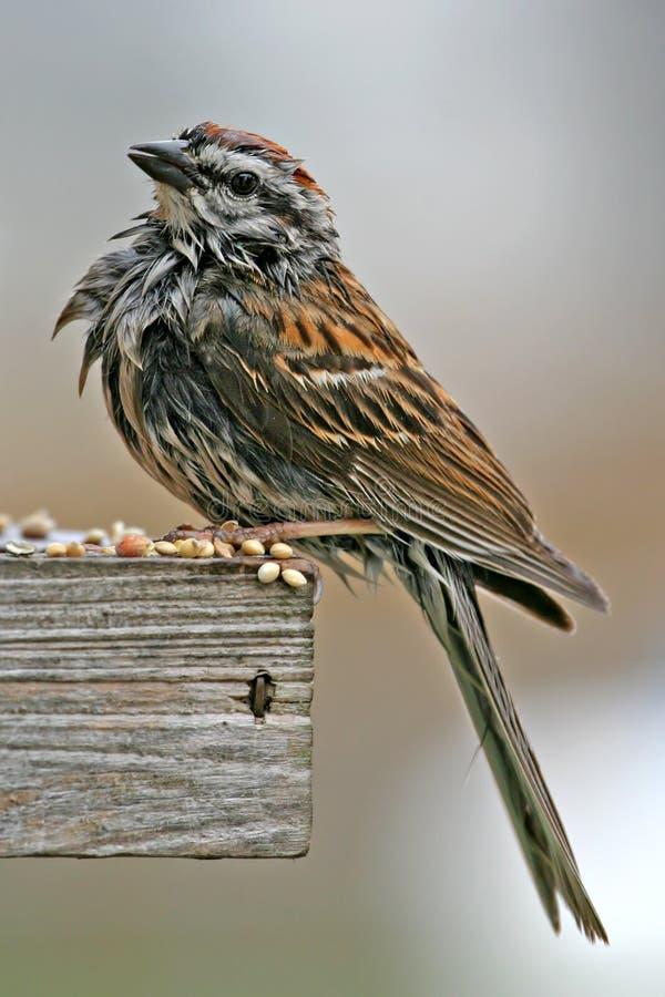 Natte vogel bij voeder royalty-vrije stock afbeeldingen