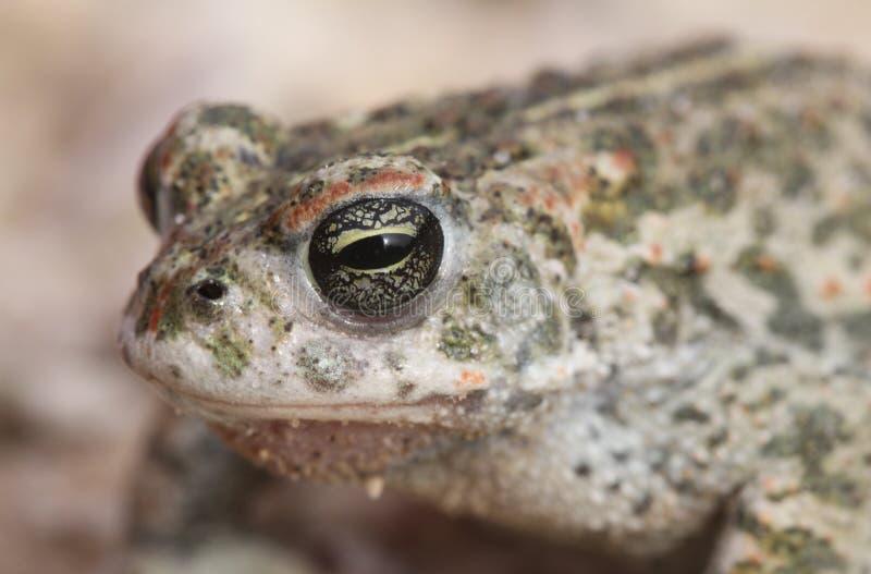 Natterjack toad Bufo Epidalea calamita. It is a very rare Amphibian in the U.K. A Natterjack toad Bufo Epidalea calamita. It is a very rare Amphibian in the U.K royalty free stock images