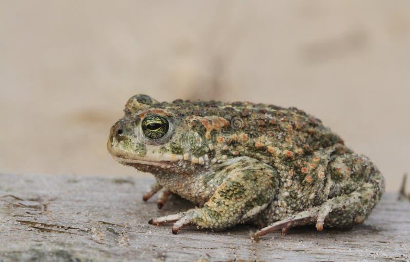 Natterjack toad Bufo Epidalea calamita. It is a very rare Amphibian in the U.K. A Natterjack toad Bufo Epidalea calamita. It is a very rare Amphibian in the U.K stock image