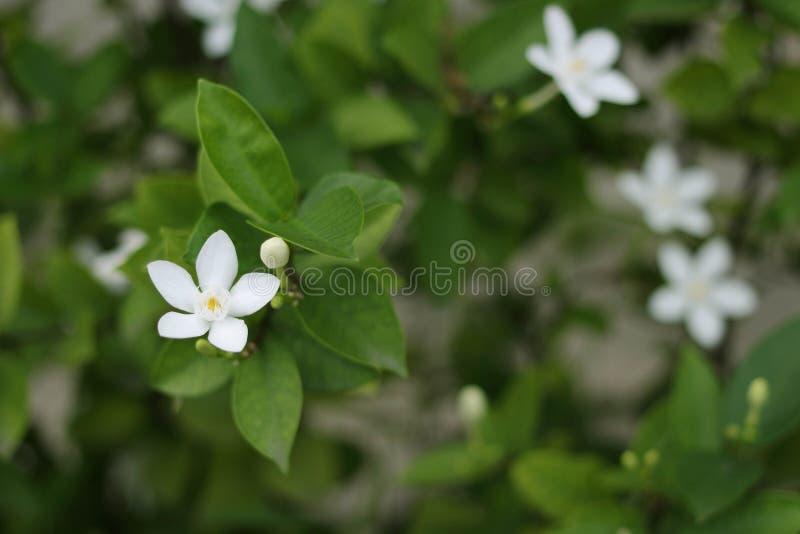 Nattjasmin eller liten vit blomma på suddighetsbuskebakgrund royaltyfri fotografi