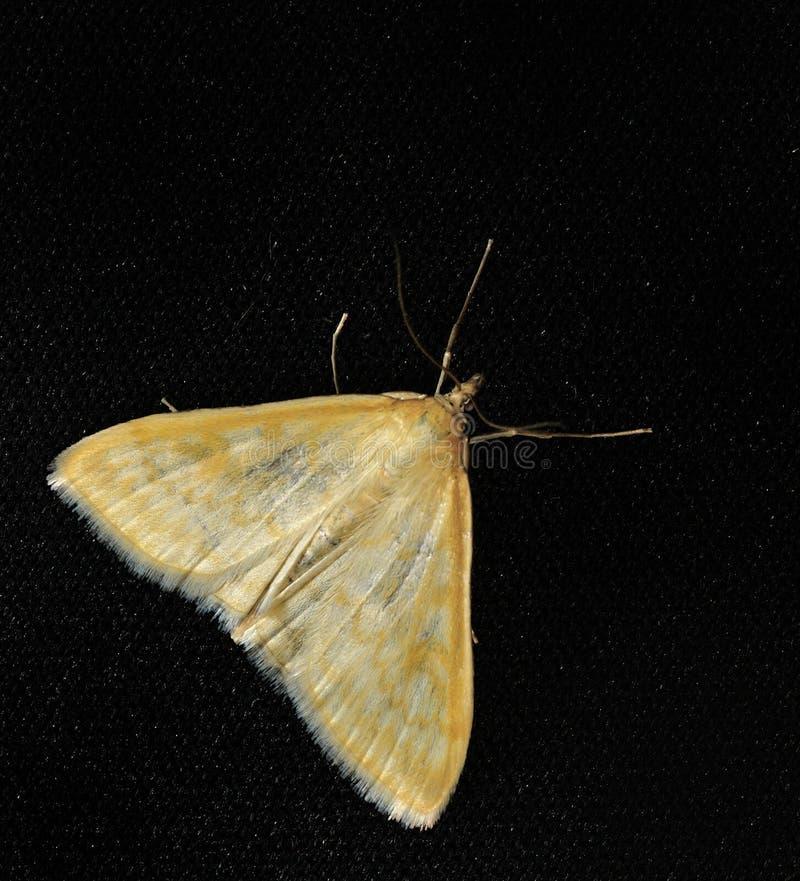Nattmal Dessa är fjärilar, har sobien en tunn kropp och förhållandevis långa ben Fjärilar är crepuscular och nattliga royaltyfria bilder