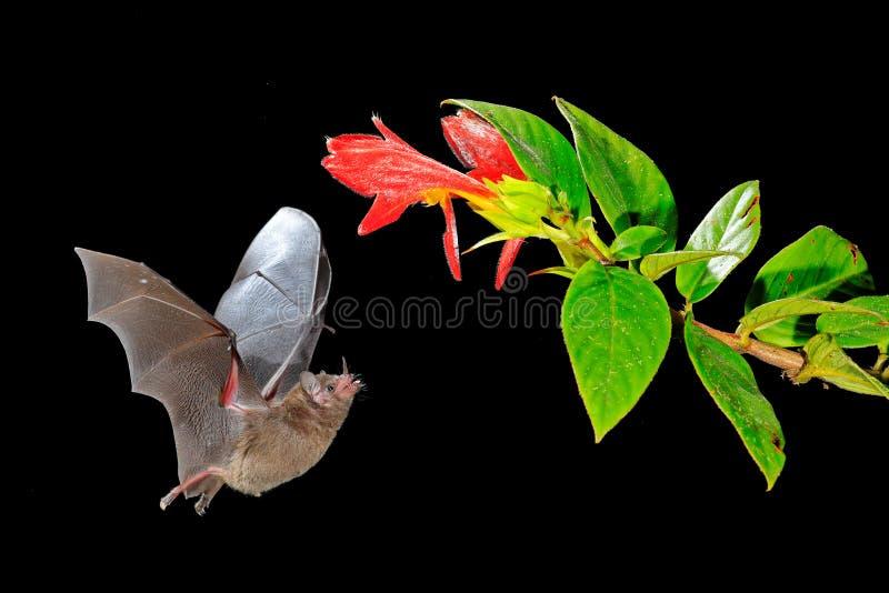 Nattnaturen, Pallas ` s Lång-spontade slagträet, den Glossophaga soricinaen som flyger slagträet i mörk natt Nattligt djur i flyk royaltyfria foton