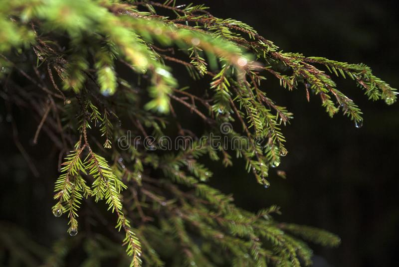 Nattskogvår i de prydliga filialerna för skog i små dropparna av smältande snö fotografering för bildbyråer