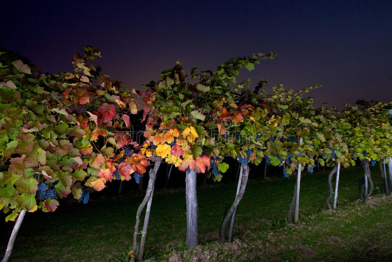 Natttur till en winegrowing på skördtid arkivfoto