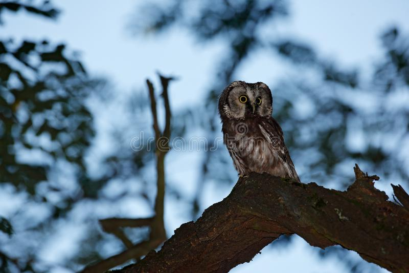 Nattugglabild Liten fågel i trät Boreal uggla, Aegolius funereus som sitter på trädfilialen i grön skogbakgrund owl royaltyfri foto