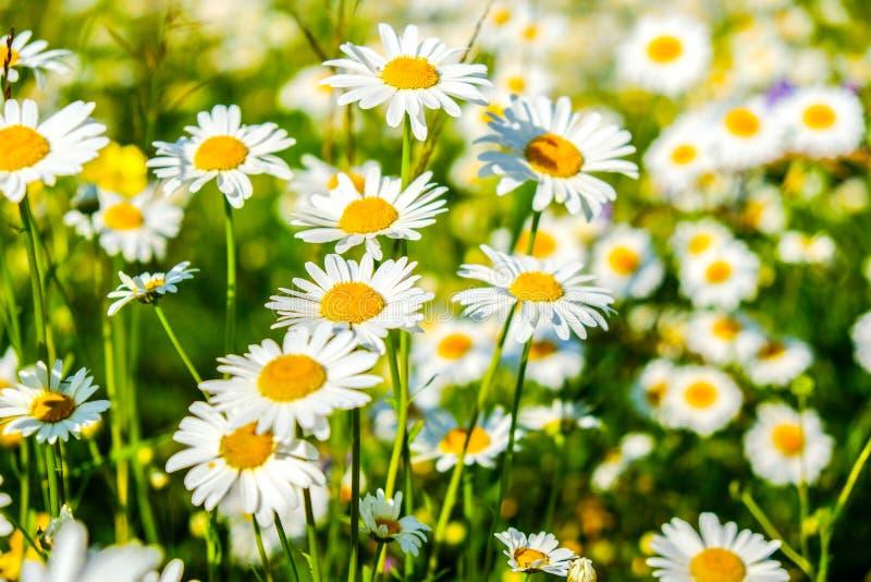 Natual白色春黄菊花在森林里 免版税库存图片