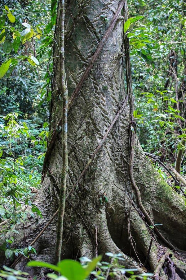 Natur av den Gunung Mulu nationalparken av Sarawak, Malaysia arkivbild