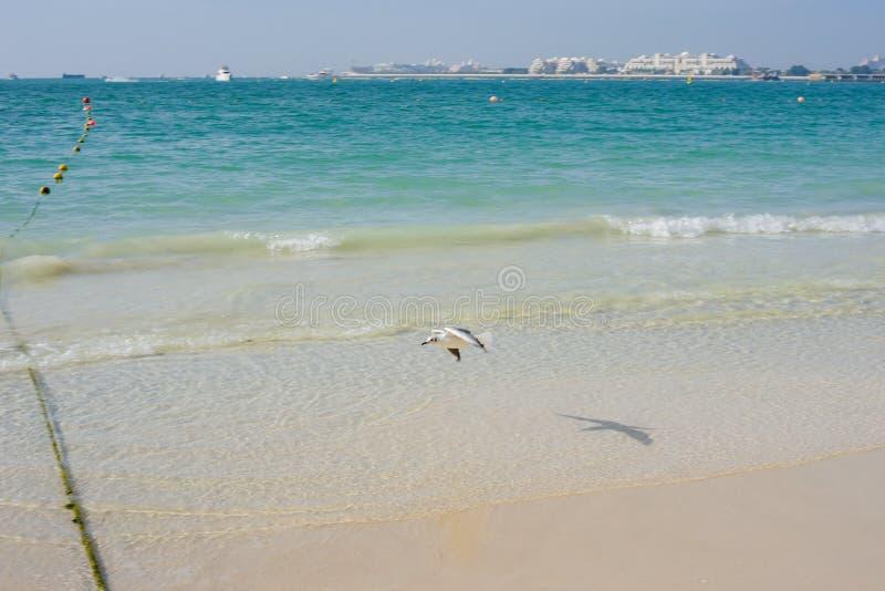Natur av fåglar, havsfiskmåsar på stranden av Persiska viken arkivfoto