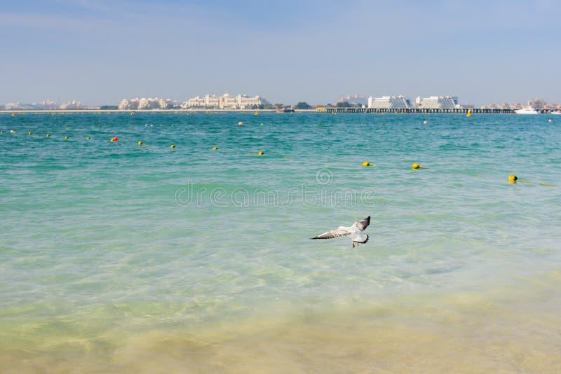Natur av fåglar, havsfiskmåsar på stranden av Persiska viken fotografering för bildbyråer