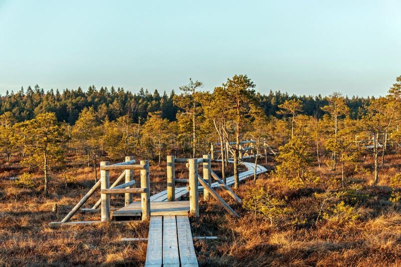 Natur av Lettland, stort Kemeri träsk: Panorama- höstlandskap med träbanan över träsket med härligt aftonsolljus royaltyfri bild
