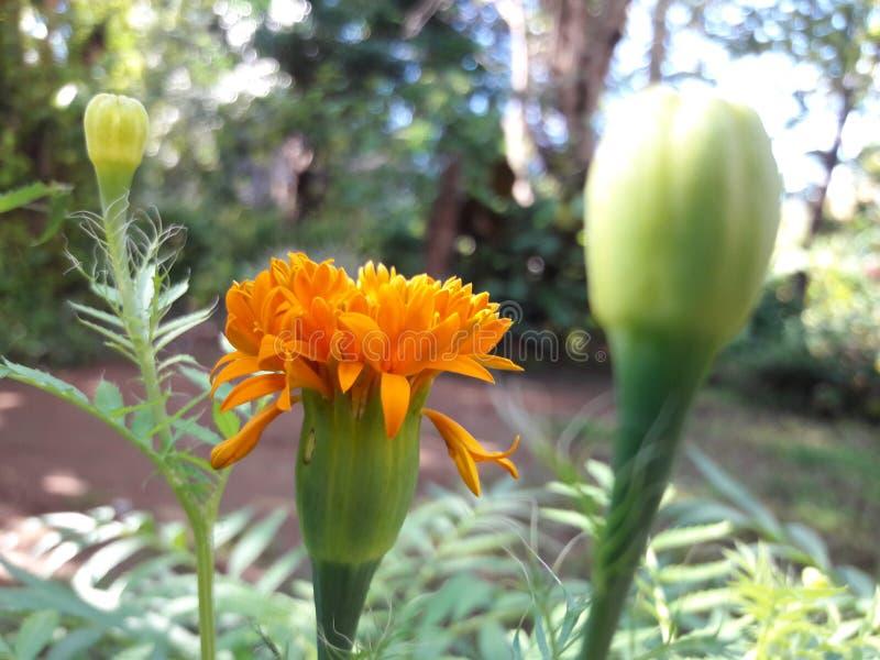 Natur-Blume, Blumenknospe und Blätter stockbilder