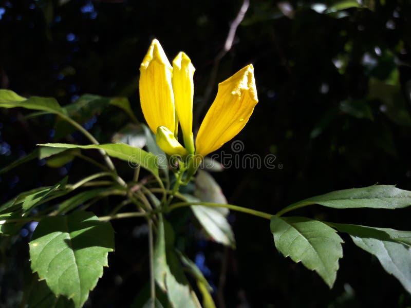 Natur-Blumenknospe hat es gelbe Farbe lizenzfreies stockfoto
