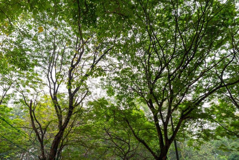 Natur Duzi Lasowi drzewa obrazy stock