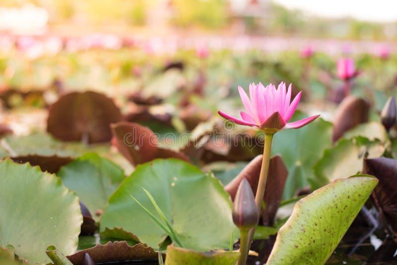 Natur för Lotus blomma royaltyfri foto