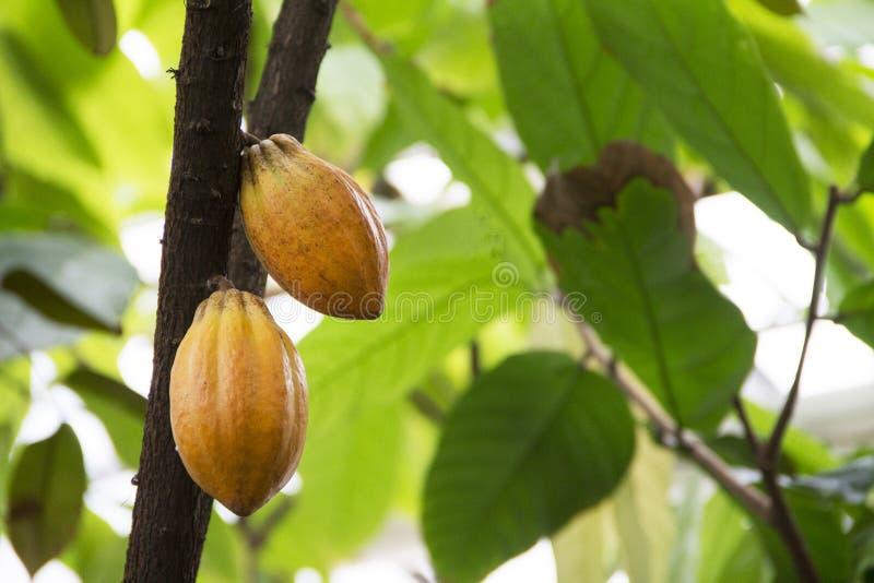 Natur Frukter av kakao mognar på palmträdet royaltyfri fotografi