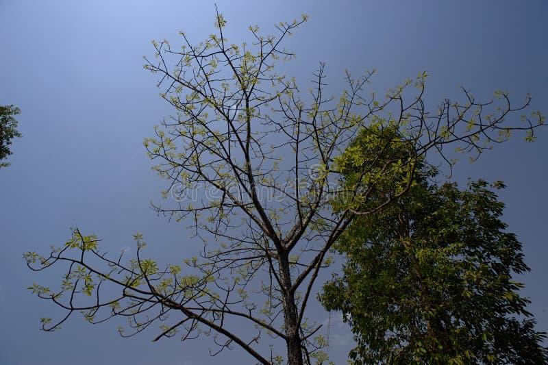 NATUR-Grünblatt-Seidebaumwollbaum nahe Bezirk Sangamner Ahmednagar, Maharashtra lizenzfreies stockbild