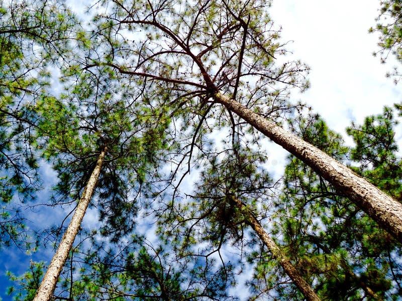 Natur-Kieferhintergrund umfasst durch Krähenniederlassungen und vibrierenden blauen Himmel stockfotos