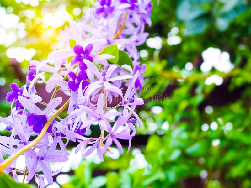 Natur och miljö som är härliga med purpurfärgade blommor i grön trädgård arkivbild