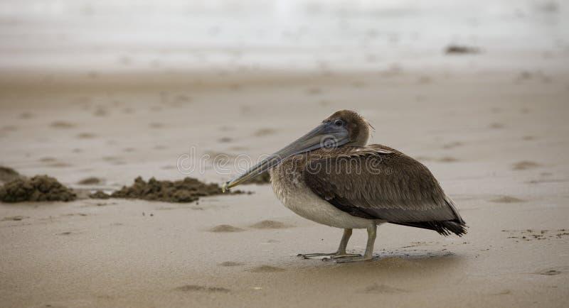 Natur - pelikan på sanden i Panama royaltyfria bilder