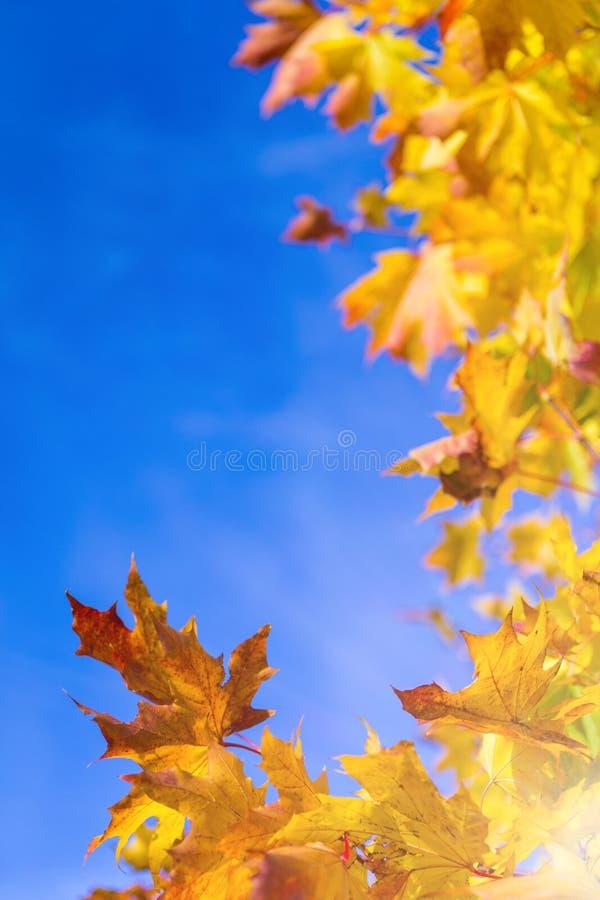 Natur pojęcia Jesień koloru żółtego Czerwoni liście klonowi Umieszczający jako rama Przeciw niebieskiego nieba tłu zdjęcie royalty free