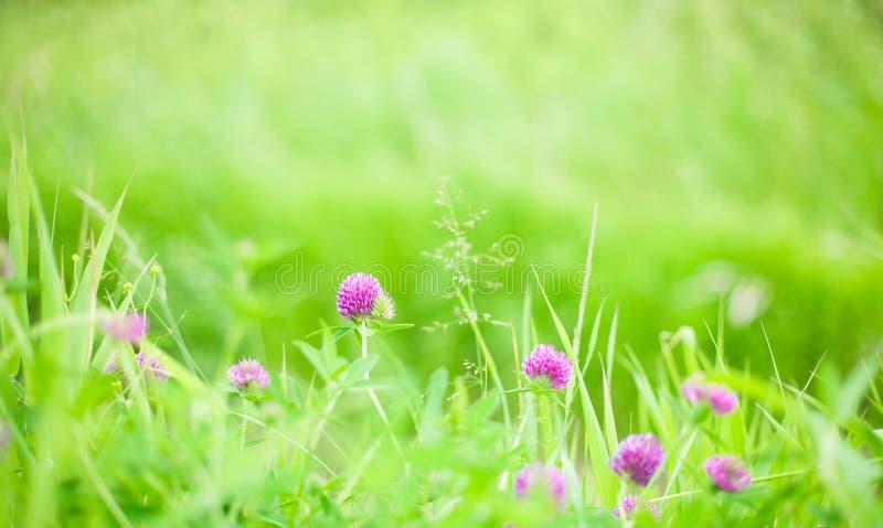 Natur-Sommer-Hintergrund mit Klee Blumen stockbild