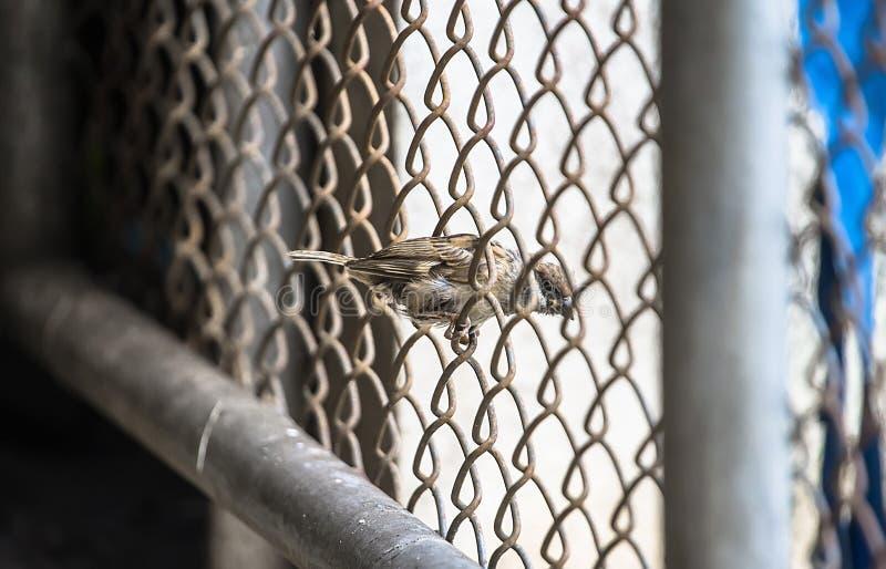 Natur-Spatz wird gesehen, dass leicht es ein Sitzvogel auf einem Zaun entlang den Wänden des Hauses ist, das nach Lebensmittel su lizenzfreies stockfoto