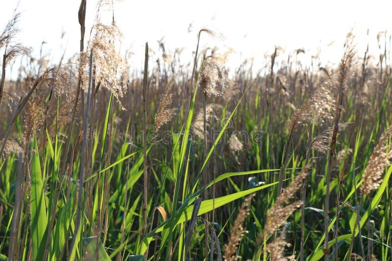 Natur verlässt Schilfe des sonniger Tagesklaren Grüns stockfoto