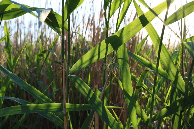 Natur verlässt Schilfe des sonniger Tagesklaren Grüns stockfotos