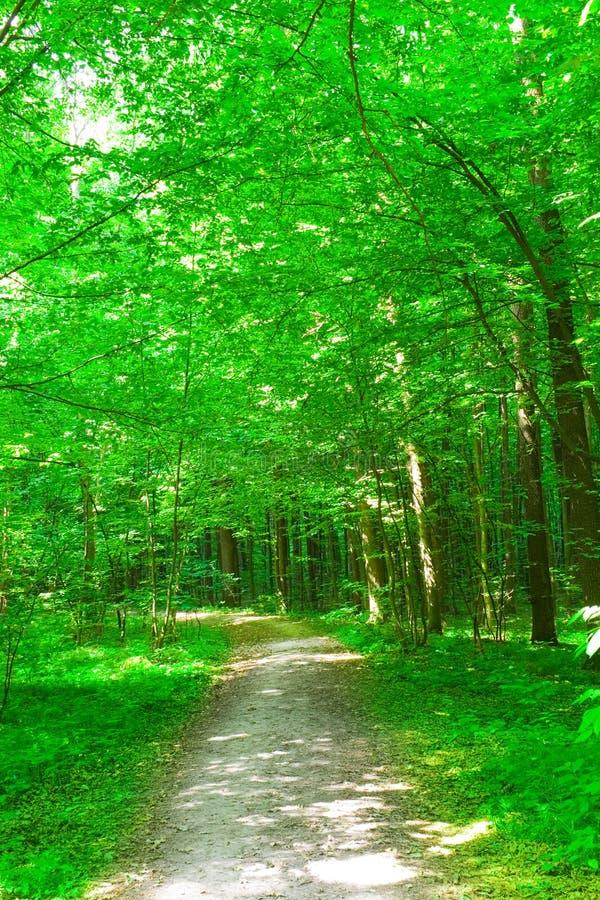 Natur. Wald am Sommer stockbild