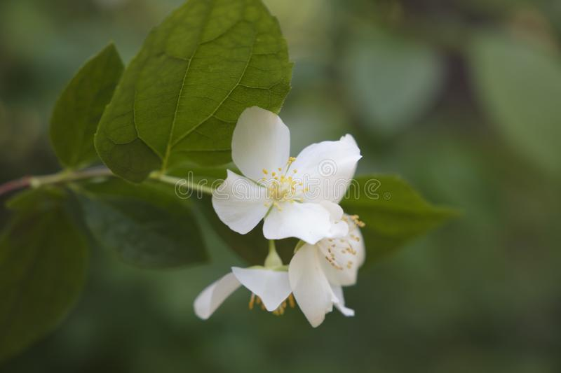 The flower of a cherry close up. Natur white green flower blossom background petal plant spring tree beauty leaf branch beautiful season fresh summer royalty free stock image
