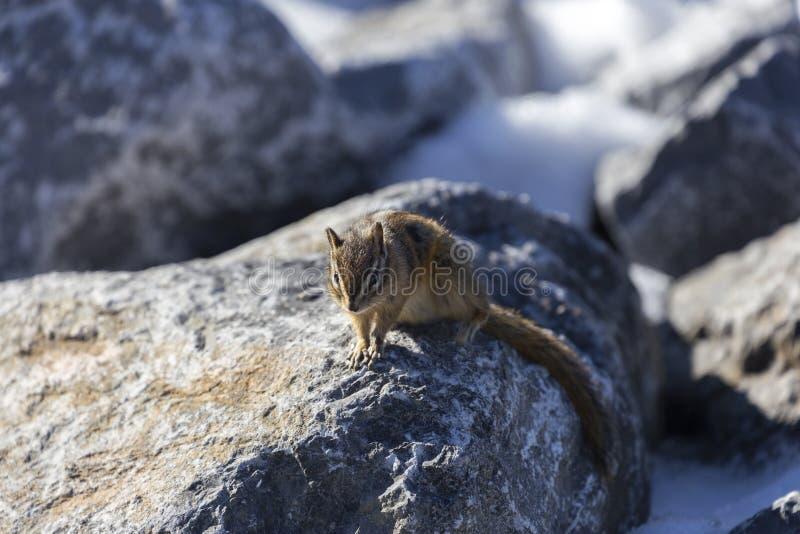 Natura animale della fauna selvatica di Rabit della pietra del mammifero di Pika Squirell fotografia stock