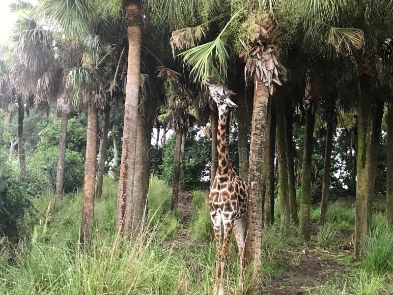 Natura animale della giraffa fotografia stock libera da diritti