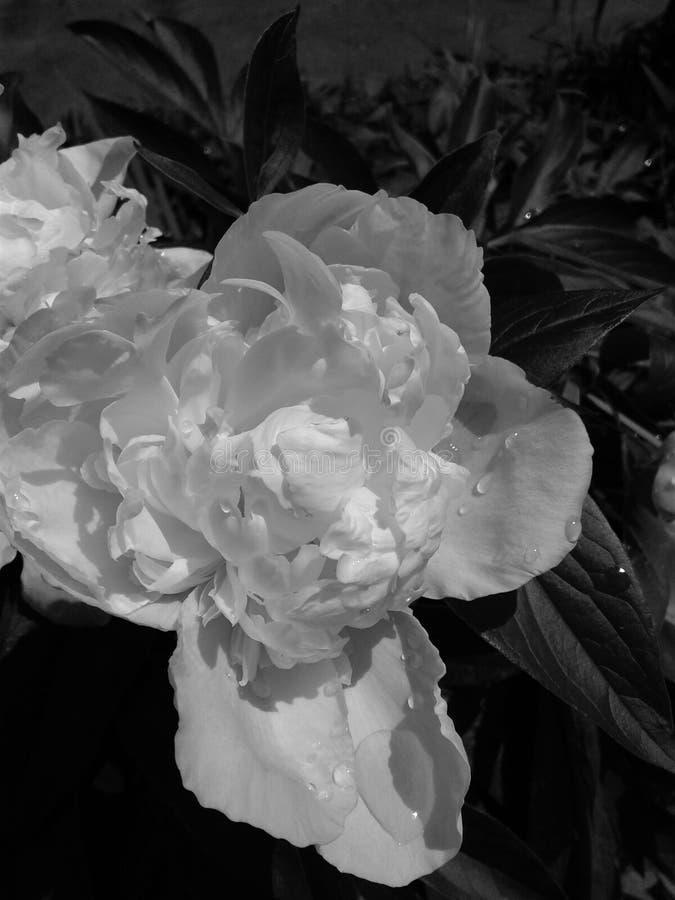 Natura dei contrasti Fiore in bianco e nero della peonia Gocce di rugiada immagine stock libera da diritti