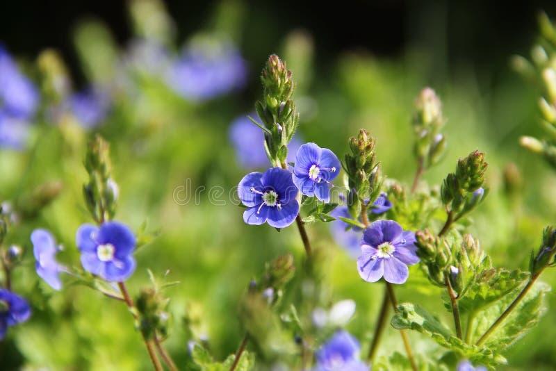 Natura del giacimento di fiori della camomilla immagine stock libera da diritti