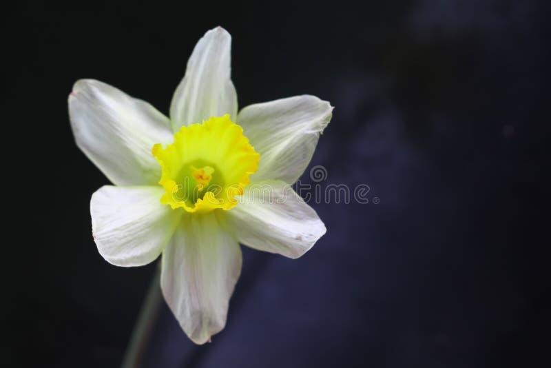 Natura del giardino del fiore del narciso bella immagini stock libere da diritti