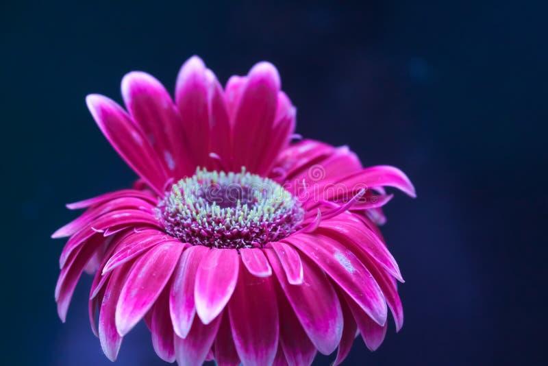 Natura del giardino del fiore della gerbera bella immagini stock