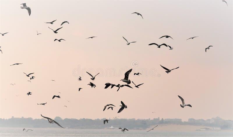 Natura del mare, lo stormo dei gabbiani che sorvolano il mare alla ricerca del pesce su una mattina nebbiosa illustrazione vettoriale