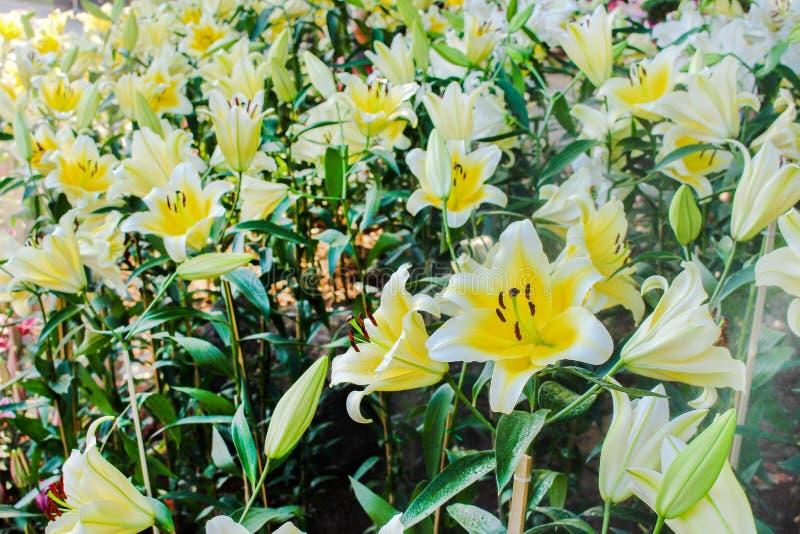 Natura del paesaggio del giglio giallo variopinto con il bordo bianco ed il giacimento di fiori rosso scuro del polline che fiori fotografia stock