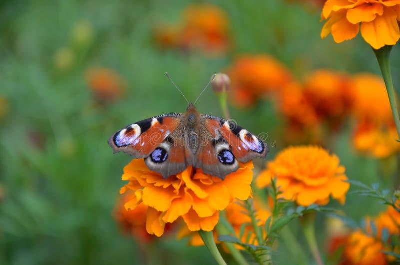 Natura della farfalla immagine stock