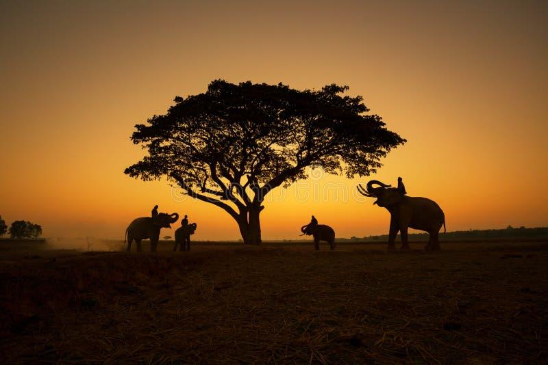 Natura della Tailandia della siluetta degli elefanti sotto l'albero ed il mahout fotografia stock libera da diritti
